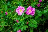 Дикие розы на Буша — Стоковое фото