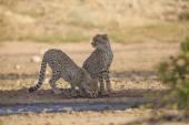 Young cheetah at waterhole — Stock Photo