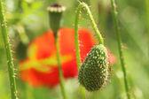 Poppies — Foto de Stock