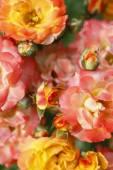 Güller, çiçek — Stok fotoğraf