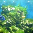 Tropical fishes in aquarium — Stock Video #74284965