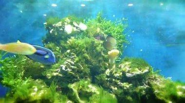 Tropische fische im aquarium — Stockvideo