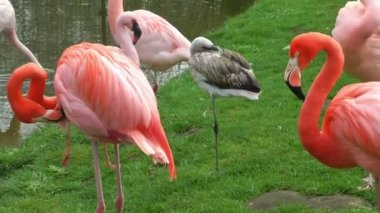 Flamingo birds on grass — Stockvideo