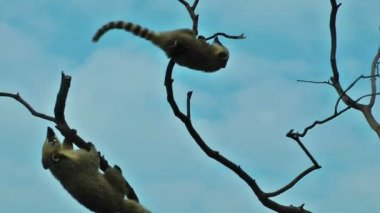 Lemurs playing in  the tree — Stock Video