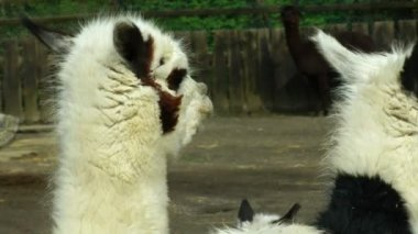 Alpacas eating grass — Stock Video