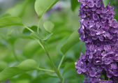Close-up beautiful lilac flowers — Stock Photo
