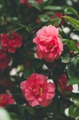 Blossoming of bright red roses — Stock Photo