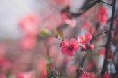 Spring flowers sacura — Stock Photo