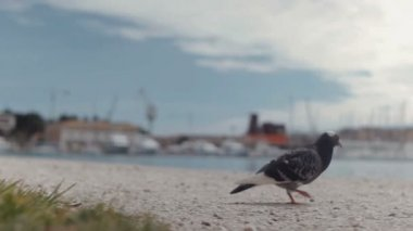 Dove walking on the street next to the sea — Stock Video