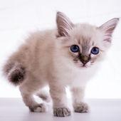 Sacred Birman kitten — Stock Photo