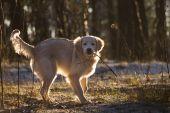 Golden retriever playing with stick — Fotografia Stock