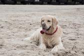 Golden retriever on beach — Stock Photo