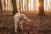 Golden retriever in forest — Stock Photo