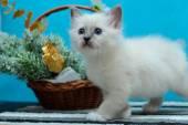 Sacred Burmese kitten — Stock Photo