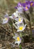 Pasqueflowers — Stock Photo