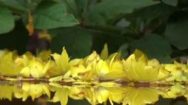 Yellow fallen flower petals reflected in the water.Not a bright green background. Picture fading creates a mood of sadness and quiet. — Stock Video