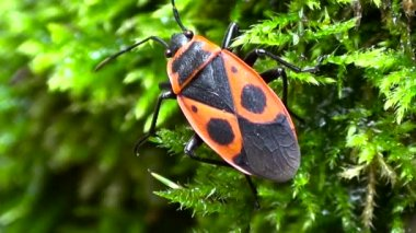 Red and black beetle on the background of green moss. — Stock Video
