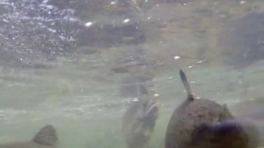 Trout Swims Near the Surface of the Water — Stock Video