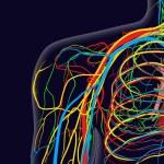 Постер, плакат: Medical vector illustration of the shoulder anatomy with nerves veins and arteries etc