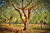 Oliveraie dans le Var - Olive trees plantation in Provence — Stock Photo