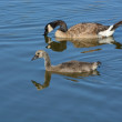 Mother Canada Goose and gosling — Stock Photo #79083986