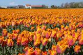 Tulip culture, Holland — Stock Photo