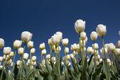 Tulip culture — Stock Photo