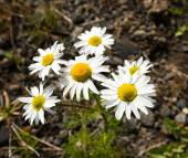 Daisies in Reykjanes peninsula, Iceland — Stock Photo