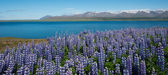 Lupins, Hvalfjordur, Iceland — Stock Photo
