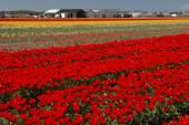 Tulip Culture,  North Holland — Stock Photo