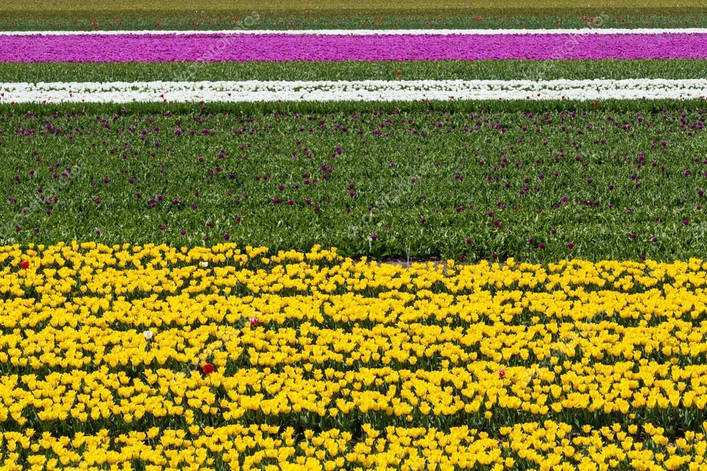 les bandes horizontales jaune champs de tulipes blanches et roses pr s de village de lisse aux. Black Bedroom Furniture Sets. Home Design Ideas