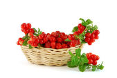Basket of the cowberries — Stock Photo