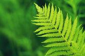 Green fern leaf on de focused background — Stock Photo
