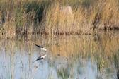 それは自然環境で himantopus himantopus 鳥の美しい反射. — ストック写真