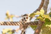 Cute portrait of a lemur on a tree. — Stock Photo