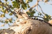 Beautiful lemur on tree. — Stock Photo