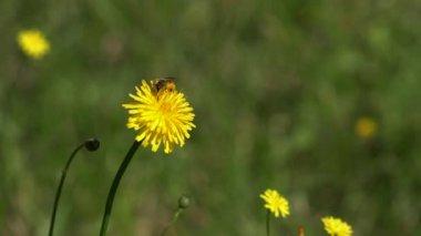 Bee gathering on dandelion flower — Stock Video