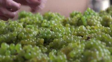 Harvest for white vine, Manual vibrating sorting table — Stock Video
