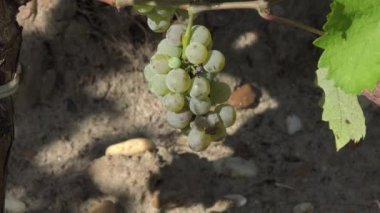 Sauvignon grape at perfect ripeness — Stock Video