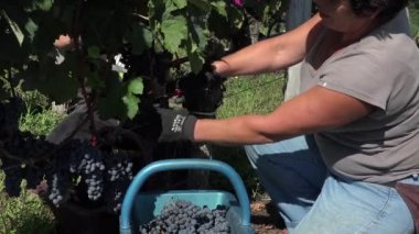 Harvesting of grapes one by one using a secateur — Stock Video