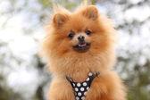 Smiling pomeranian dog — Stock Photo