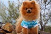 Cute pomeranian dog on nature background — Stock Photo