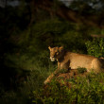 Постер, плакат: Lioness in the dusk