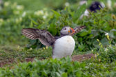 Atlantic puffin ready to fly — Stock Photo