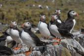 Atlantic puffin congregation — Stock Photo