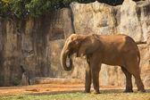 African elephant feeding morning glory. — Stock Photo