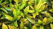 Codiaeum variegatum or Garden Croton Petra in Garden as background — Stock Photo