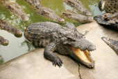 Group of crocodiles crawling from water to the shore in search of prey — Stock Photo