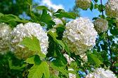Blossom of guelder rose — Stock Photo