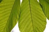 Translucent horse chestnut textured green leaves close up in back lighting isolated on white sky background with sun shine flare — Stock Photo